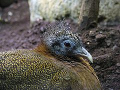 Argusianus argus argus - Giant great argus - desc-female headshot.jpg