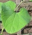 Aristolochia clematitis 20041007 2550.jpg
