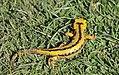 Arrabio arrunta (Salamandra salamandra).jpg