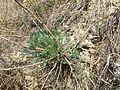 Artemisia campestris sl5.jpg