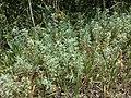 Artemisia pontica sl4.jpg