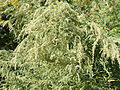 Artemisia vulgaris SCA-6363.jpg