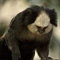 Artis White-fronted marmoset - Artis Royal Zoo (10053535584).jpg