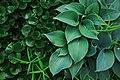 Asarum and Hosta plants near the Gridchinhall building (31249669902).jpg