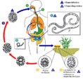 Ascariasis LifeCycle - CDC Division of Parasitic Diseases - Spa.png