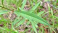 Asclepias curassavica leaf (15930809418).jpg