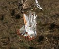 Asclepias syriaca close up of the seeds edit1.jpg