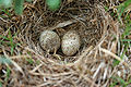 Ashy-crowned Sparrow Lark (Eremopterix grisea) nest W IMG 0858.jpg