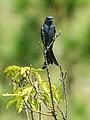 Ashy Drongo (Dicrurus leucophaeus) (36284033713).jpg