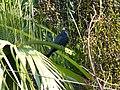 Asian Koel - Eudynamys scolopaceus - P1090240.jpg