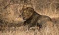 Asiatic lion wink.jpg