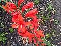 Asparagales - Crocosmia sp. - 2.jpg