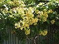 Asteraceae1.jpg