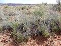 Astragalus ceramicus var. ceramicus - 34789273156.jpg