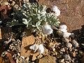 Astragalus purshii glareosus (3849405240).jpg