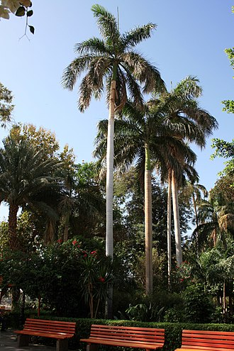 Roystonea regia - Botanical garden Aswan, Egypt