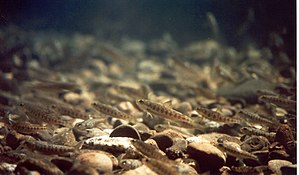 Salmon run - After depleting their yolk sac nutrients, the young salmon emerge from the gravel habitat as parr to feed