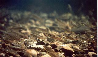 Salmon run wikipedia for Atlantic fish fry