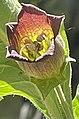 Atropa belladonna L. back-lit corolla reticulation.jpg