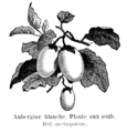 Aubergine blanche Vilmorin-Andrieux 1904.png