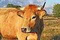 Aubrac FR48 vache IMF8230.jpg