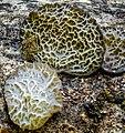Auricularia delicata (Fr.) Henn 864125.jpg