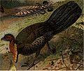 Australisk fauna, Talegalla-höns, Nordisk familjebok.jpg