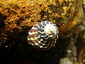 Austrocochlea porcata wide striped.jpg