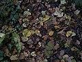 Autumn leaves. - geograph.org.uk - 91399.jpg