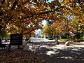 Autumn leaves at the ANU.jpg