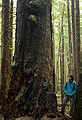Avatar Grove Giant Fir.jpg