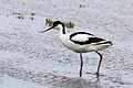Avocet (Recurvirostra avosetta).jpg