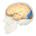 BA17,18,19 - Visual cortex (V1, V2, V3) - lateral view.png