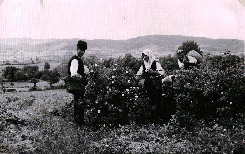 BASA-1323K-1-46-13-Rose harvests in Bulgaria