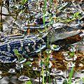 Baby Alligator (4719172156).jpg