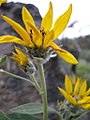 Balsamorhiza sagittata-5-25-04.jpg