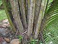 Bamboo Palm (4630837695).jpg