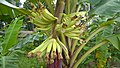BananaKerala.jpg