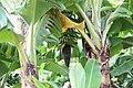 Bananenstauden mit Fruchtstand in einem Hotelgarten, Estreito da Calheta, Madeira.jpg