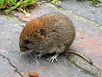 Bank Vole Myodes glareolus Grand Union Canal 1.jpg