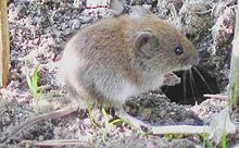 "The bank vole (""Myodes glareolus"") lives in woodland areas in Europe and Asia."