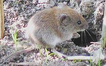 "O rato-do-banco (""Myodes glareolus"") vive em áreas florestais na Europa e na Ásia."