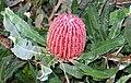 Banksia menziesii OIC early bud.jpg
