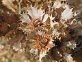 Banksia sessillis dead cluster.jpg
