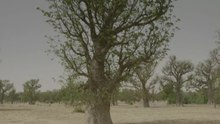 Datei:Baobabs in Mirriah.webm