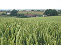 Barley Field, Icknield Way - geograph.org.uk - 24595.jpg