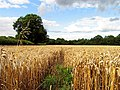 Barley Field near Ecchinswell - geograph.org.uk - 37123.jpg