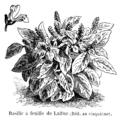 Basilic à feuille de laitue Vilmorin-Andrieux 1904.png