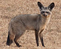 Bat eared fox Kenya crop (cropped).jpg