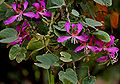 Bauhinia purpurea (Kaniar) in Hyderabad, AP W IMG 2573.jpg